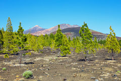 Pine forest on lava rocks at the Teide National Park in Tenerife Stock Photography