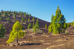 Pine forest on lava rocks in Tenerife, Spain Royalty Free Stock Photo