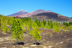 Pine forest on lava rocks in Tenerife, Spain Royalty Free Stock Photography