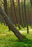 Scots or scotch pine Pinus sylvestris forest with a leaning tree on the foreground. Scots or scotch pine Pinus sylvestris forest growing on dunes near Baltic Stock Photography