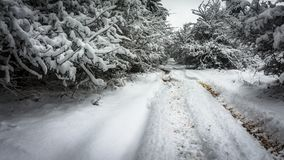 Winter road near pine forest. Pine forest on the left side and miscellaneous trees on the right side, a small dirt road between them with fresh snow – of royalty free stock photography