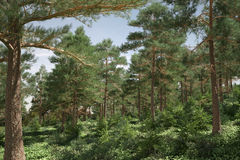 Pine forest lit by the sun. Royalty Free Stock Image