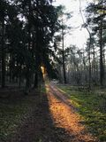 A pine forest lit up by sun royalty free stock image