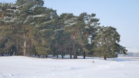 Pine forest a lot of snow on the background of blue sky, nature landscape Christmas tree Stock Photo