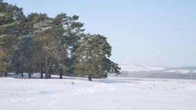 Pine forest a lot of snow on the background of blue sky, nature landscape Christmas tree Royalty Free Stock Image