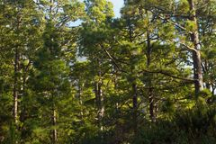 Pine forest, lush green trees. Sustainable clear ecosystem. Pinus canariensis, Canary Island Stock Photos
