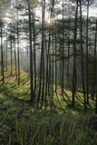 In the pine forest with magic of the sunlight, sunrays and green grass at sunrise royalty free stock photos
