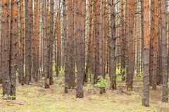 Pine forest with many trees at autumn stock photos