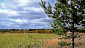 Pine on the forest meadow in autumn stock footage