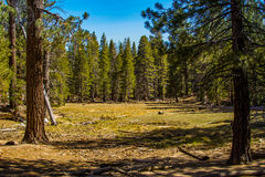 Pine forest meadow Stock Photos