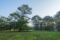 Pine forest and meadow Royalty Free Stock Images