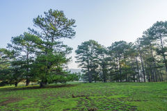 Pine forest and meadow Stock Photos