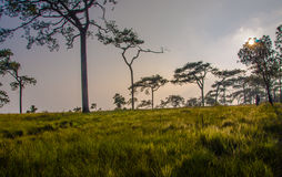 Pine forest and meadows at sunset. Royalty Free Stock Images