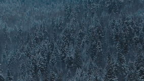 A pine forest in the middle winter. Winter pine tree background stock video footage