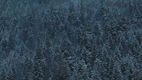 A pine forest in the middle winter. Winter pine tree background stock video