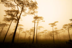 Pine forest with mist stock image