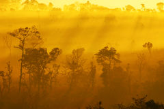 Pine forest in the mist in the morning Stock Image