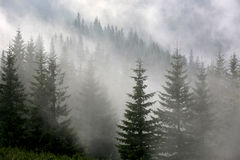 Pine forest in mist. Pine forest in morniung mist Royalty Free Stock Photography