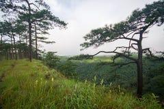 Pine forest in monsoon season Stock Photos