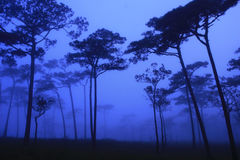 Pine forest in the morning. Phu Soi Dao National Park, Thailand Royalty Free Stock Photos