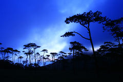 Pine Forest in the Morning Stock Photo