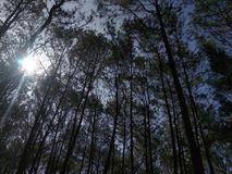 Pine forest in morning day. Pine forest morning day trees nature royalty free stock photography