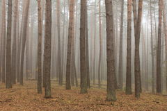 Pine forest in morning fog Stock Photography