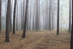 Pine forest in morning fog Royalty Free Stock Photo