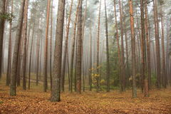 Pine forest in morning fog Stock Photos