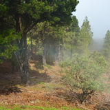 Pine forest at morning Stock Photos