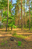 Pine forest in the morning sun Royalty Free Stock Photo