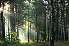 Pine forest in morning sunlight the mist Royalty Free Stock Photos