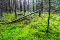 Pine forest with moss ground Royalty Free Stock Photography