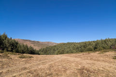 Pine forest in the mountain and clear blue sky Royalty Free Stock Photography