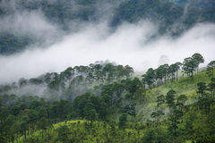 Pine forest on the mountain after raining with the fog Stock Photography