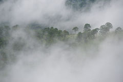 Pine forest on the mountain after raining with the fog Stock Photos