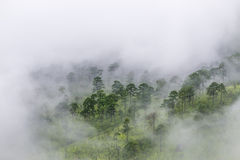 Pine forest on the mountain after raining with the fog Royalty Free Stock Photos
