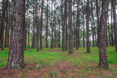 Pine forest on the mountain. In thailand Stock Photography