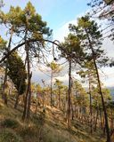 Pine forest. Mountain trees fall Royalty Free Stock Photo