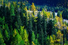 Pine forest in the mountains. Autumn nature royalty free stock images