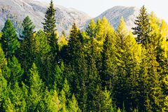 Pine forest in the mountains. Autumn nature royalty free stock photo
