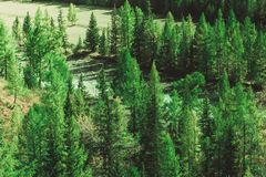 Pine forest in the mountains. Autumn nature stock image