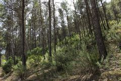 Pine forest in the mountains. Of Castilla La Mancha, Spain stock image