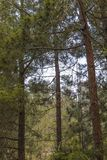 A Pine Forest. In the mountains near Jerusalem, Israel royalty free stock image