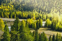 Pine forest in the mountains. Autumn nature royalty free stock photography