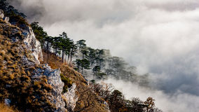 Pine forest on mountains slope in fog Stock Photos