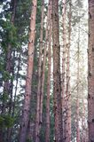 Pine forest, nature background royalty free stock image