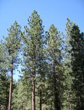 Pine Forest near Big Bear Lake Stock Photography