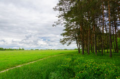 Pine forest near green field with footpath Royalty Free Stock Images