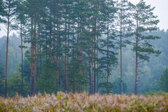 Pine forest near lake Royalty Free Stock Photos